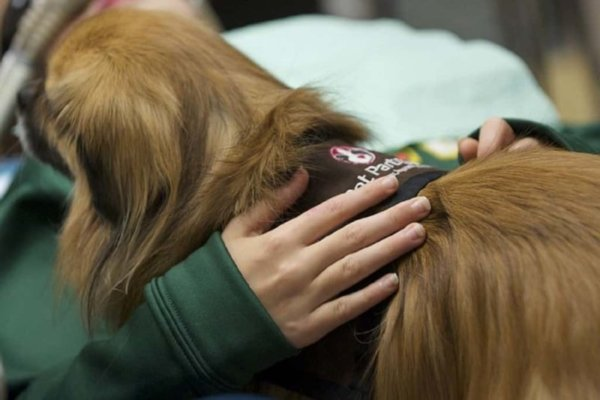 Closeup of a person's hands cradling a small long-haired dog wearing a Pet Partners vest