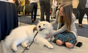 Visitor petting one of the therapy samoyeds
