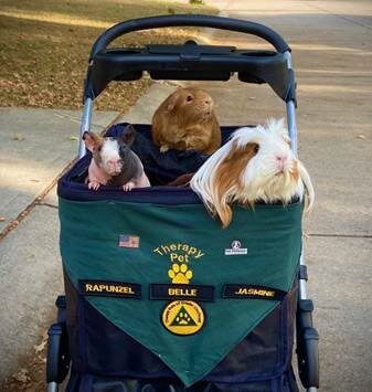 Three guinea pigs riding in a stroller