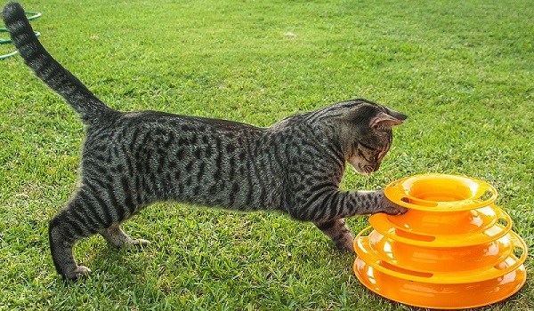 A gray tabby cat playing with a large orange multi-tieredring toy