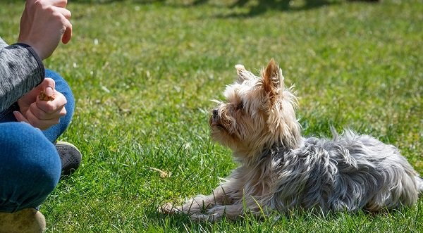 A small long-haired terrier dog being trained in down or stay