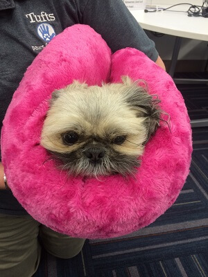 Therapy shih tzu Boo wrapped up in her bright pink plush bed
