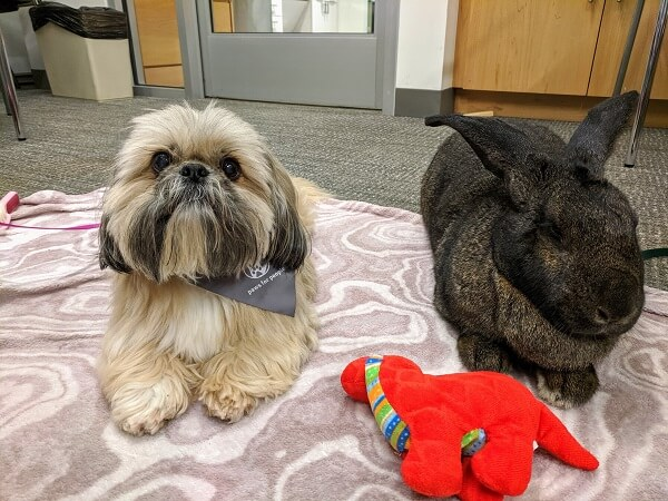 Therapy shih tzu Boo and therapy Flemish giant rabbit Buckbeak side by side on a blanket