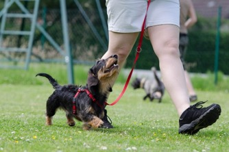 Dachshund and handler working on training together