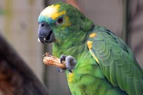 A parrot eating a peanut