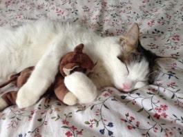 A sleeping cat cuddling a teddy bear