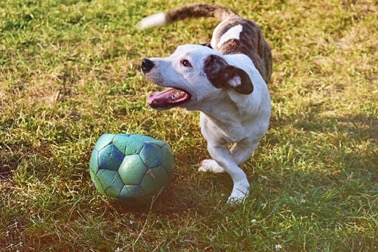 A happy mixed-breed dog playing with a soccer ball