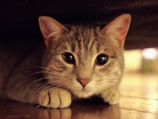 A tabby cat crouched under a piece of furniture with extremely dilated pupils, indicating fear