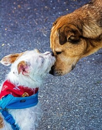 A white and brown terrier, wearing a red bandanna and a blue harness, is laying their muzzle on the muzzle of a larger light brown mixed breed dog. This interaction appears to be affectionate.