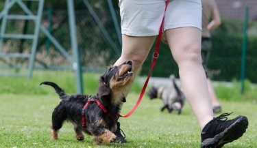 A wire-haired dachshund wearing a red harness and leash, walking alongside a person and looking up at the person for direction. Image by Katrin B. from Pixabay
