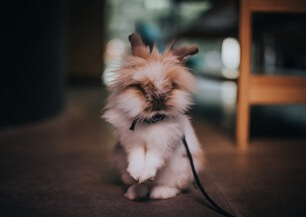 A lionhead rabbit standing up on back legs and wearing a harness and leash