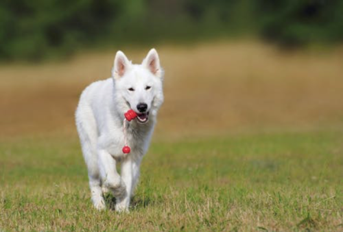 A white German shepherd dog retrieving a rope toy with a happy expression