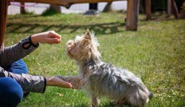 A small terrier being trained to give a paw by a person holding a treat. Image by Pezibear from Pixabay
