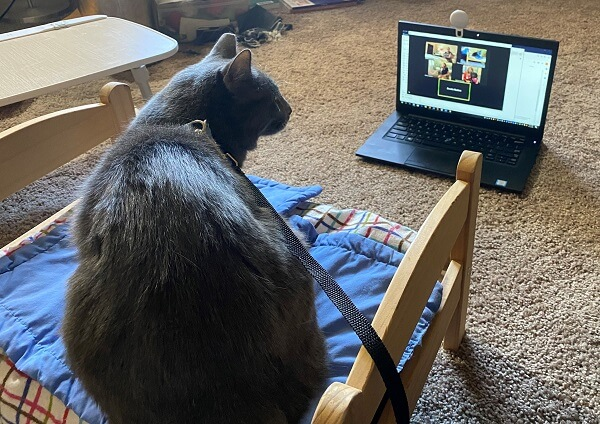 A gray therapy cat in front of a laptop during a virtual meeting
