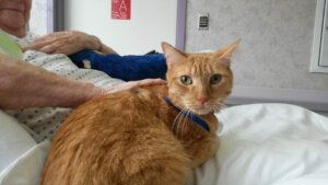 An orange tabby therapy cat visiting on a senior's bed