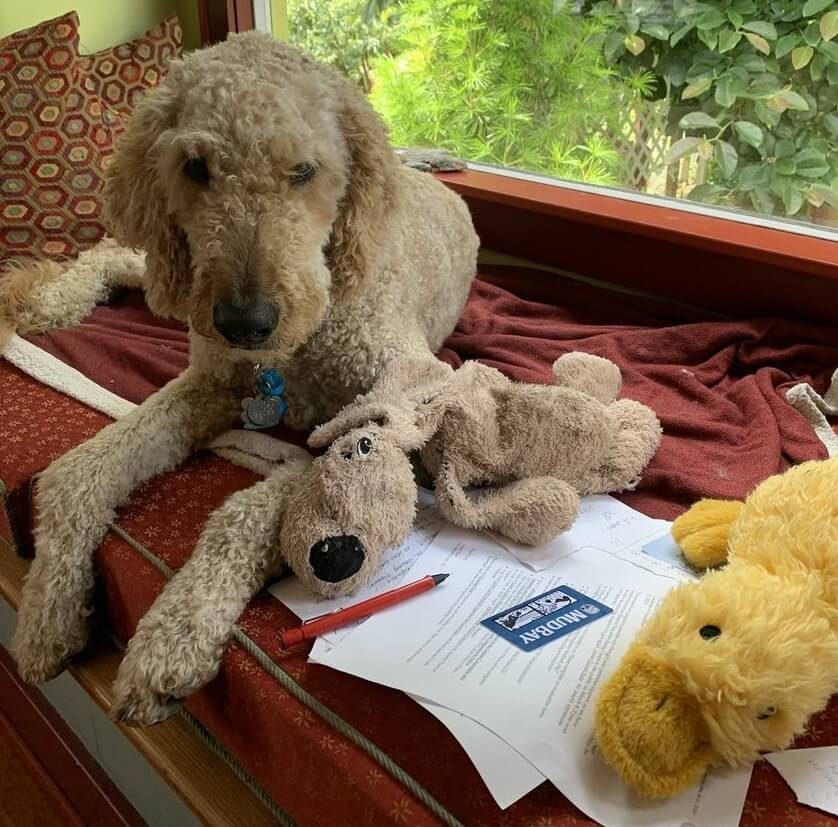 A goldendoodle in a window seat with two of her toys and letters her handler is writing