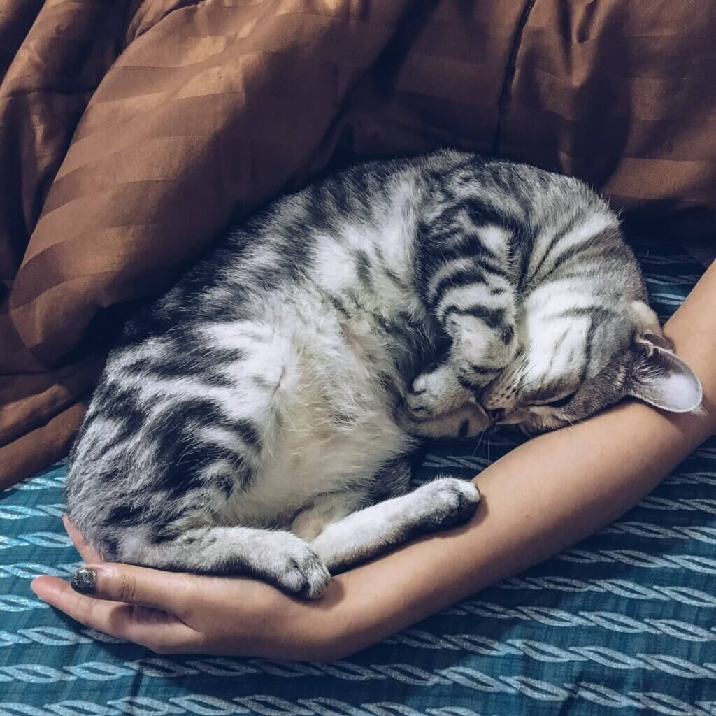 A silver tabby cat curled in a person's arm in bed