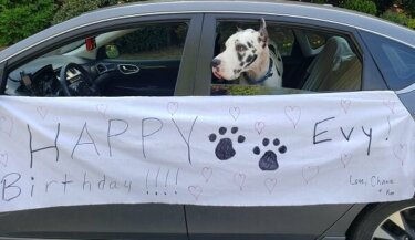 "A great Dane therapy dog with his head out the window of a car. The car has a banner reading ""Happy birthday Evy! Love, Chance & Marcia"""