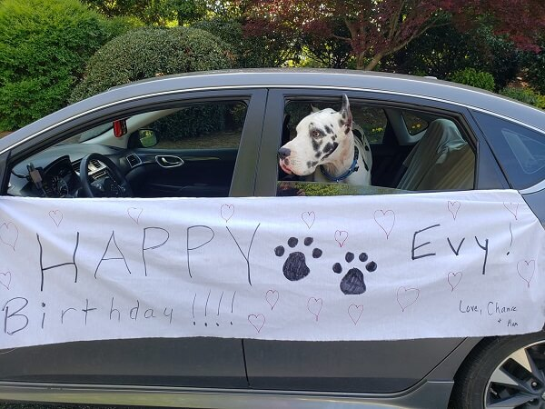 """A great Dane therapy dog with his head out the window of a car. The car has a banner reading """"Happy birthday Evy! Love, Chance & Marcia"""""""
