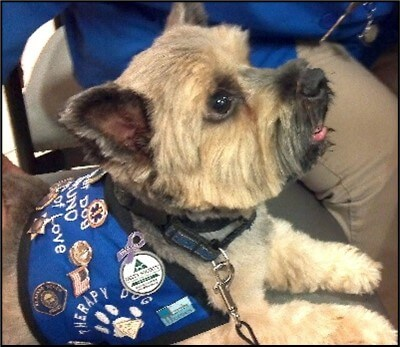 A Norwich terrier in a therapy dog vest lies with a client