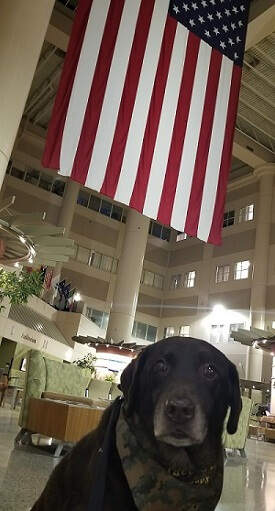 A brown Lab mix therapy dog sits under an American flag in the atrium of the Minneapolis VA medical center