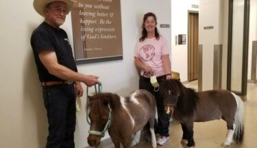 Two therapy animal handlers with mini horses in a hospital hallway