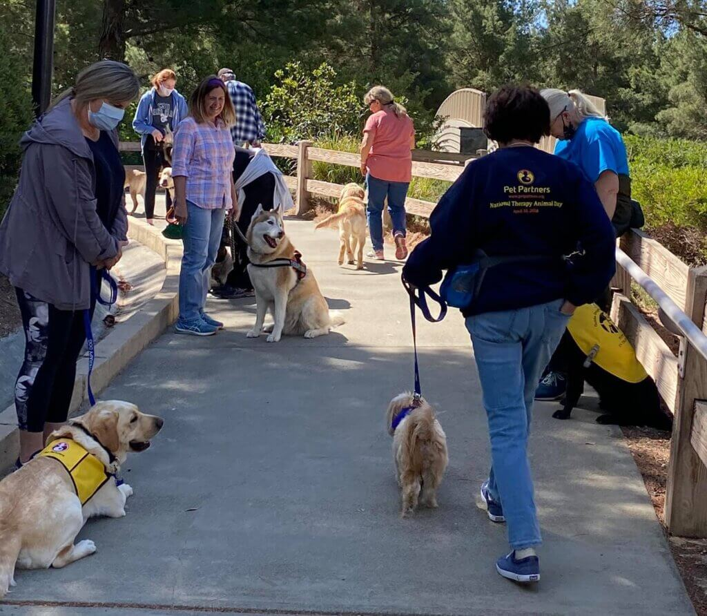 A group of guide dogs in training walk with several Pet Partners therapy dog teams in a park.
