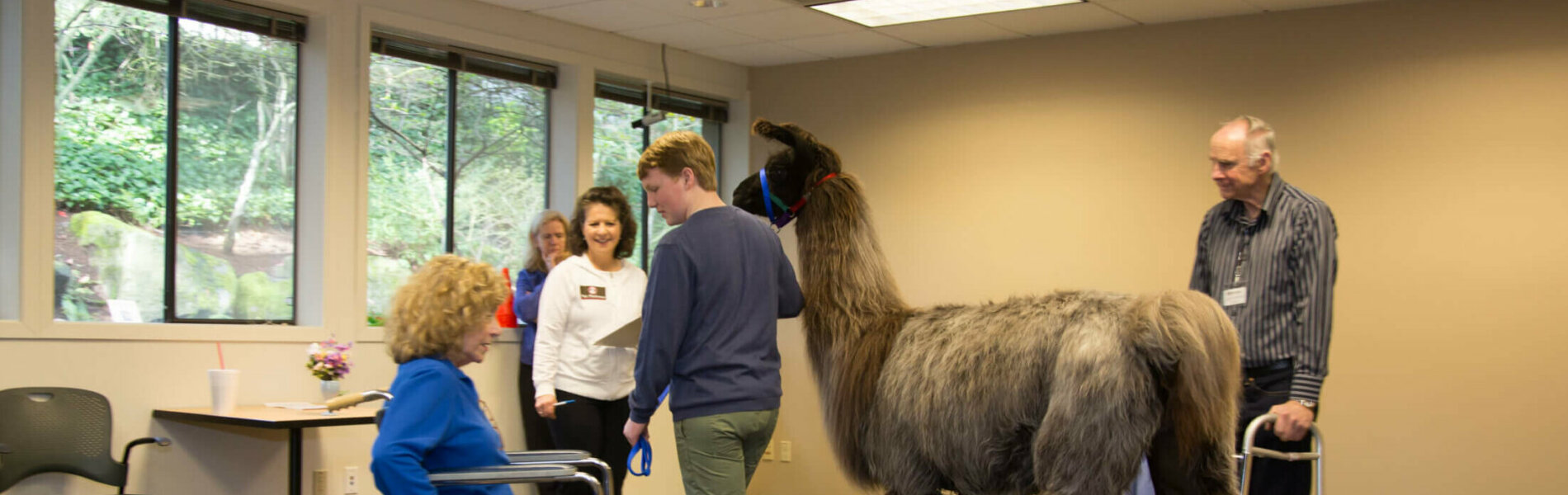 A therapy llama team undergoes a team evaluation, gauging how they respond to interacting with people using mobility devices. Photo by Dani Weiss.