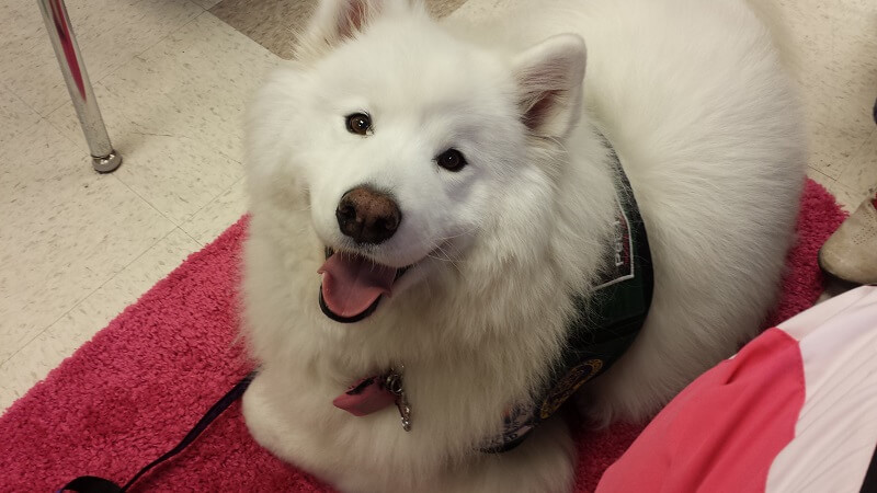 A samoyed therapy dog lies on a mat and smiles at the camera