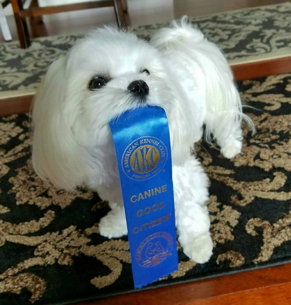 A Maltese dog holding a Canine Good Citizen ribbon in her mouth