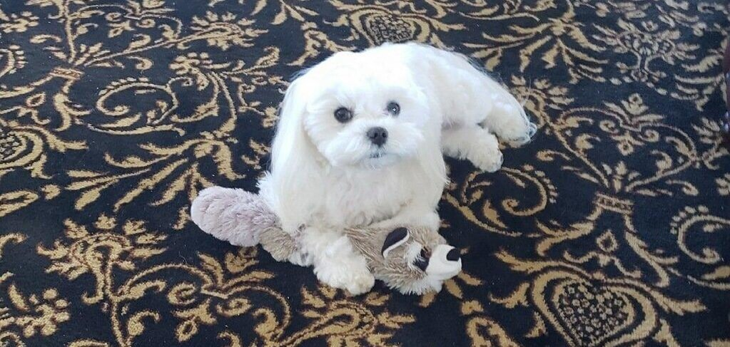 A Maltese dog with a toy