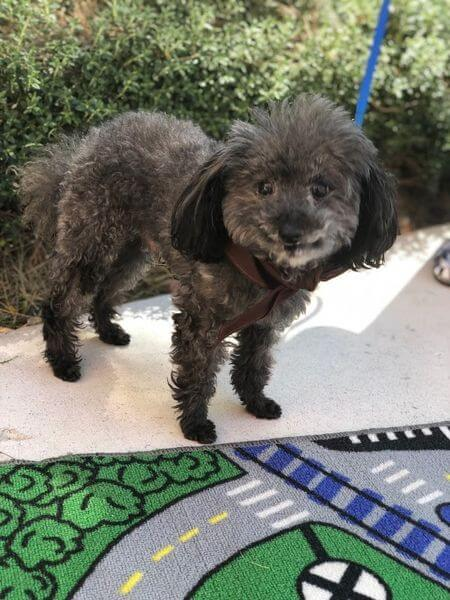 A small black poodle mix dog smiling at the camera