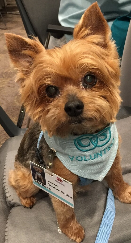 A small terrier therapy dog wearing a Volunteer bandanna