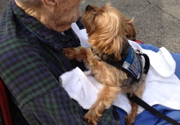A small therapy dog sits on a senior man's lap and lifts his head to the man's face