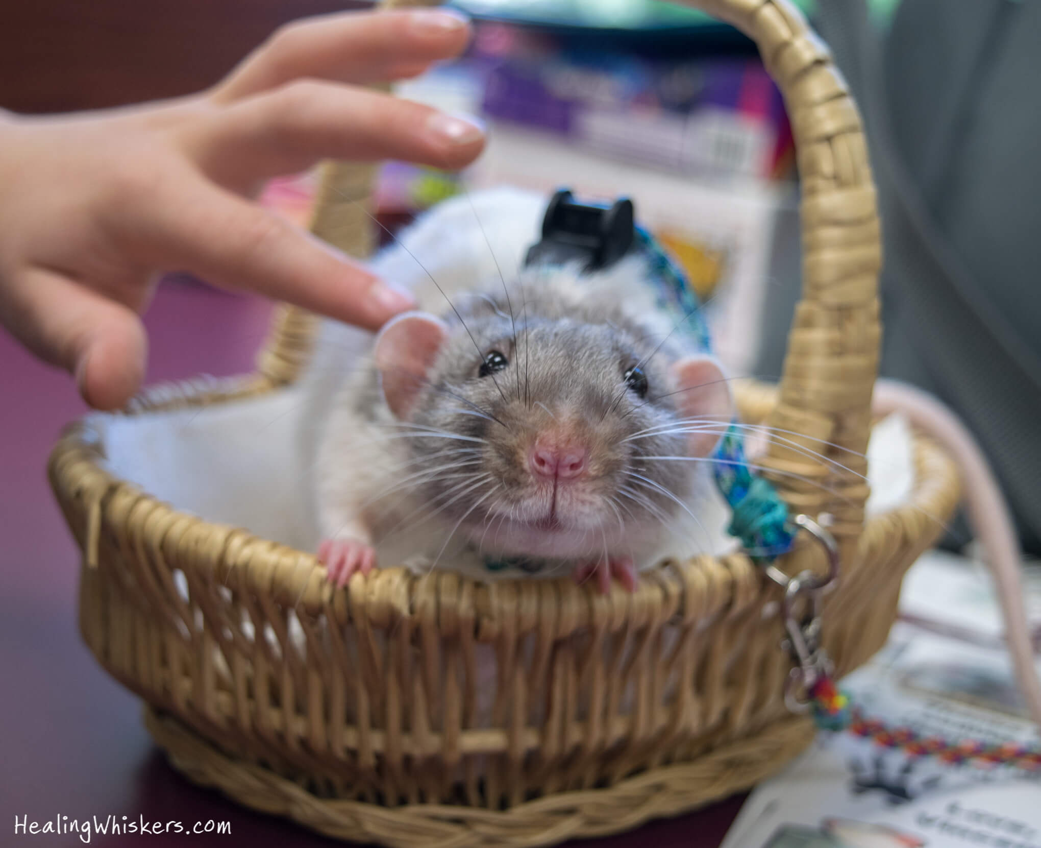 A therapy rat rests in a basket while a child pets him gently with one finger