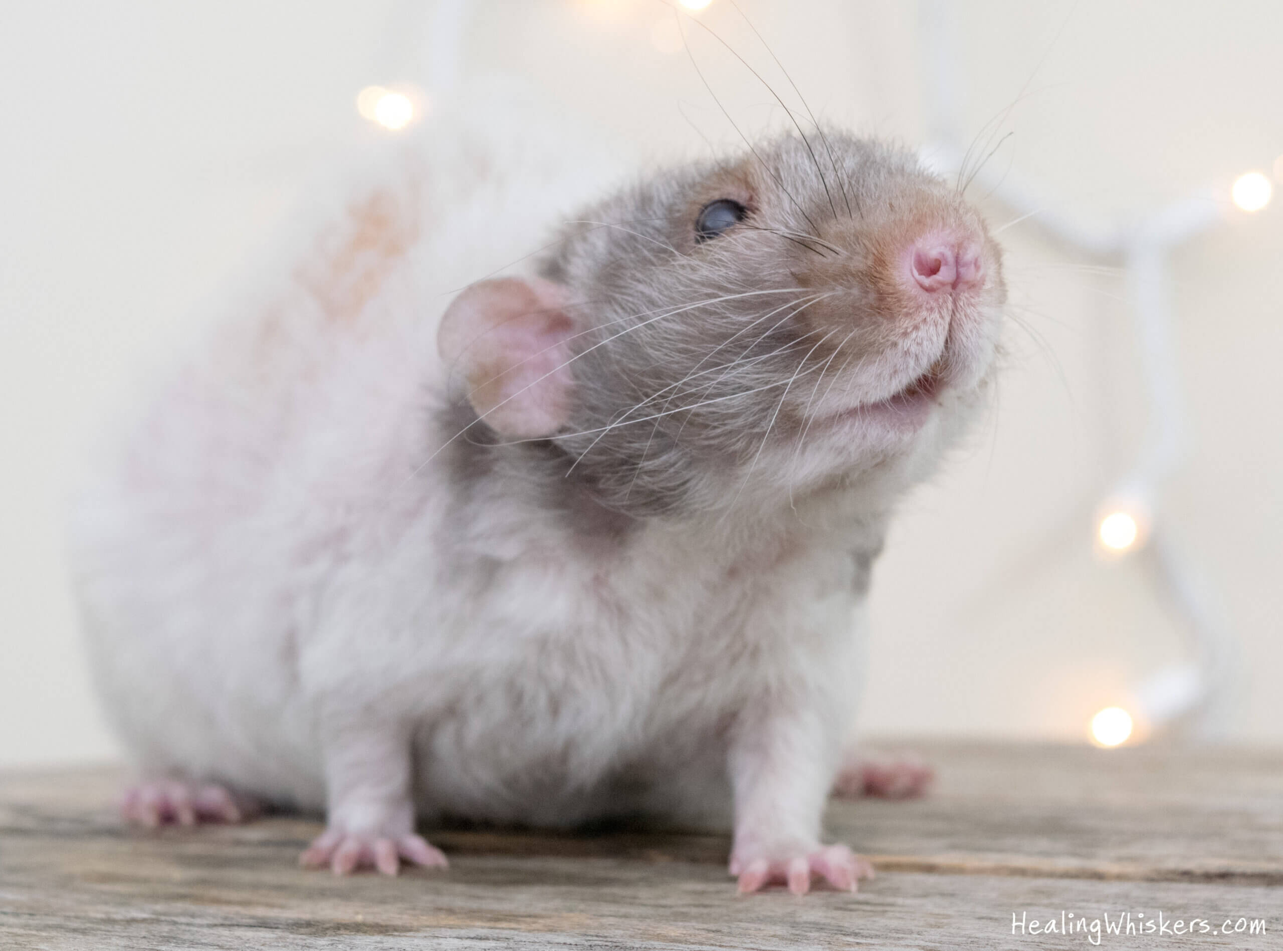 """A """"smiling"""" therapy rat poses against a backdrop of twinkle lights"""