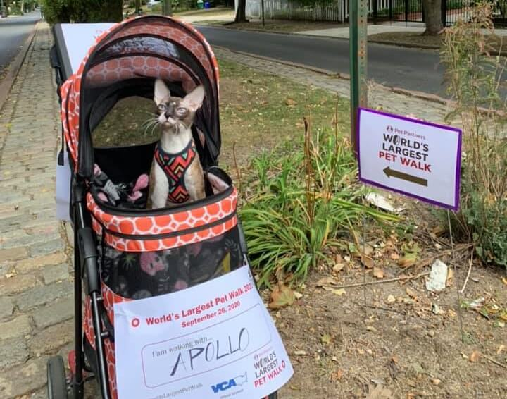 A cat in a stroller participating in the World's Largest Pet Walk