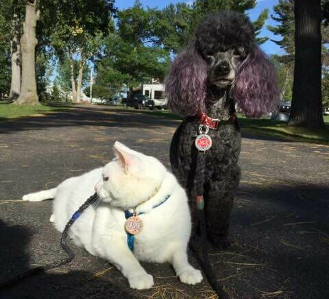 A white cat and a black miniature poodle sitting together, both wearing harnesses and leashes.